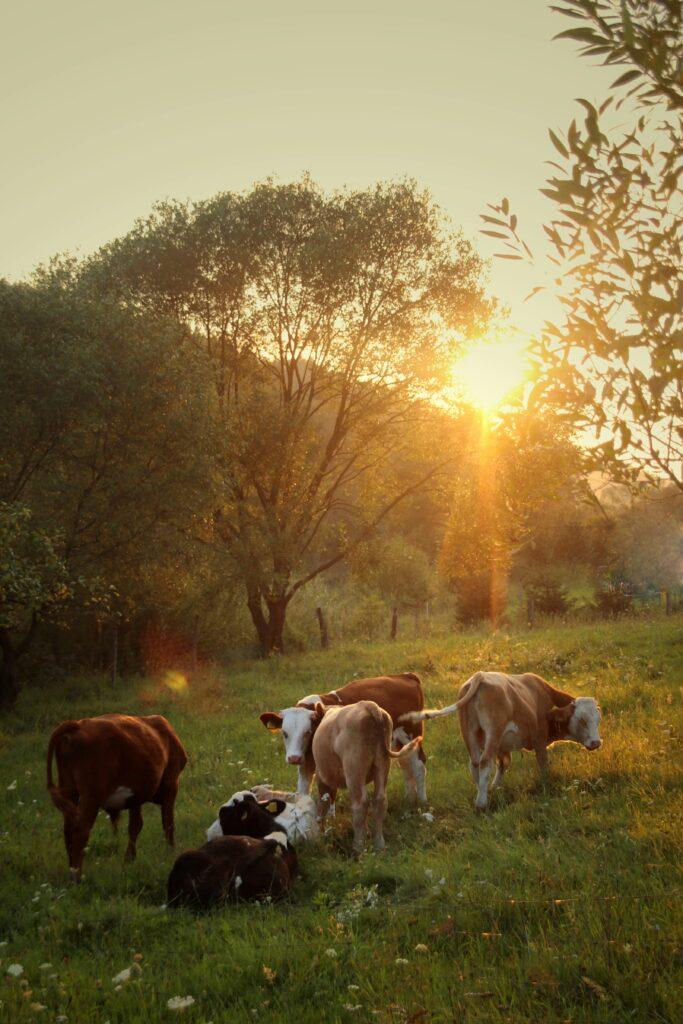 Weidemilch ist auch besser für das Klima, da Kühe auf der Weide weniger Treibhausgase erzeugen.