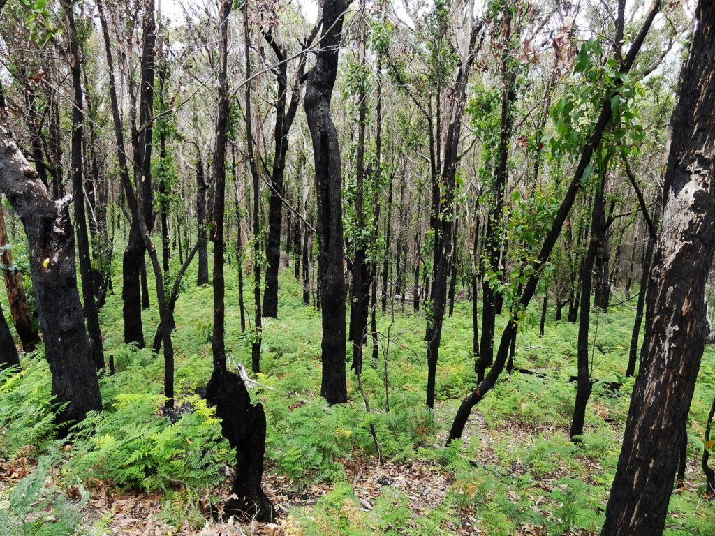 Month after a bush fire the trees are visibly burned, but still this Tasmanian bush is prospering. This is because the ecosystem is used to frequent bush fires.