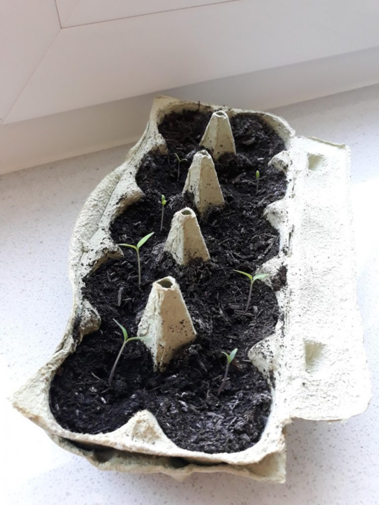 An old egg carton that I reused to plant tomatoes: With one seed per egg compartment, it offers a fantastic zero waste plant pod to start the tomato farm!