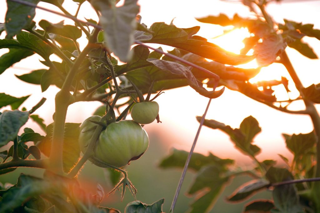 Tomatoes growing outside in the sunset. Some tomato breeds are more suitable for urban gardening and even an indoor garden than others.